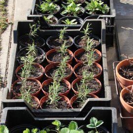 Rozemarijn-stekken-tuinblog