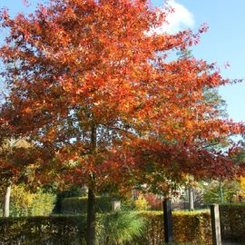 Moeraseik-herfst-tuinblogger
