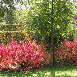 Kornoelje-rood-hersftkleur-tuin