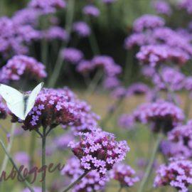 witte-vlinder-tuin-tuinblog