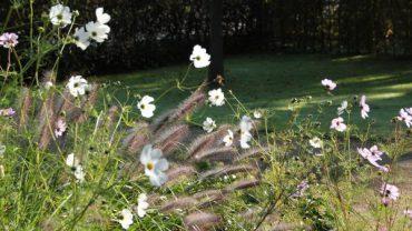 Cosmea-witte-bloemen-zelf-zaaien