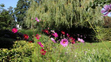 Cosmea-zelf-zaaien-hersftkleur-tuin
