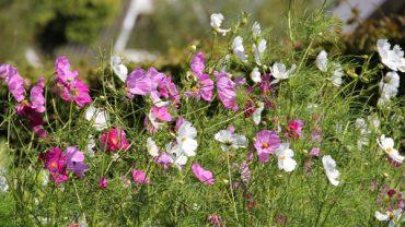 Cosmea-tuin-paarse-witte-bloemen-tuinblog