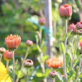 Chrysanten-tips-zelf-kweken-tuin