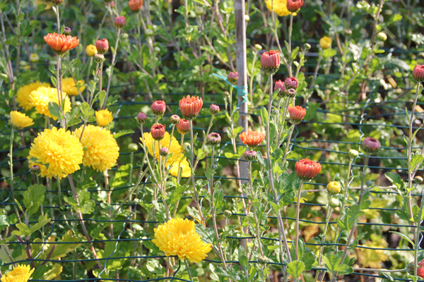Chrysanten-geel-bruin-zelf-kweken-tuinblog-tips