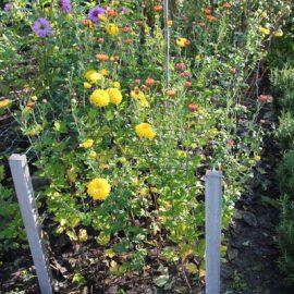 Chrysanten-kweekbed-stekken-tuinblog