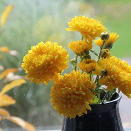 Chrysanten-dhz-kweken-geel-tuinblog