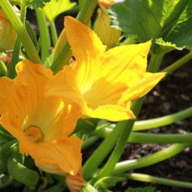 Courgette-bloem-tuinblog