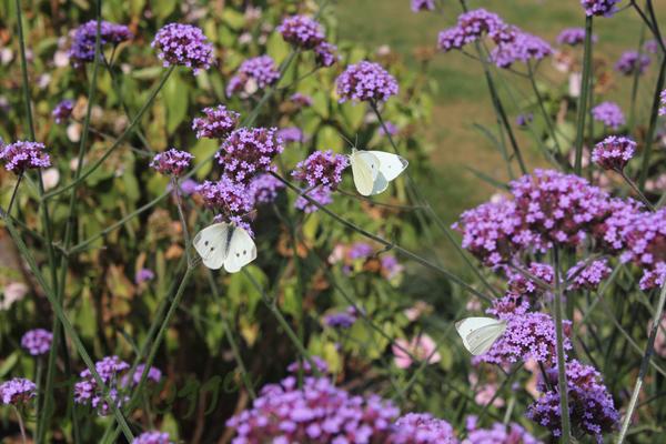 Verbena-vlinder-tuinblog