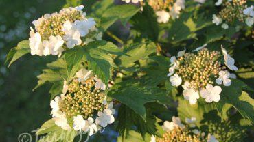 gelderse-roos-bloemen-zomer