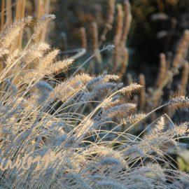 pampusgras-winter