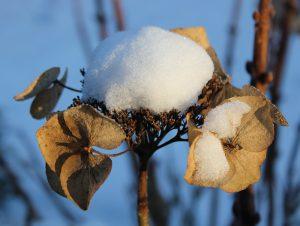 hortensia-sneeuw