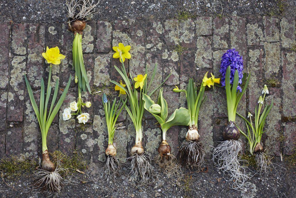 bollen-voorjaar-tuinblog