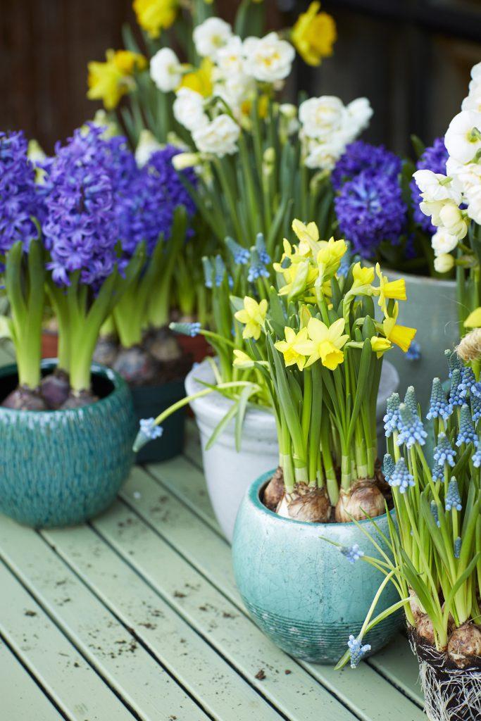 Bollen-voorjaar-tuinblogger