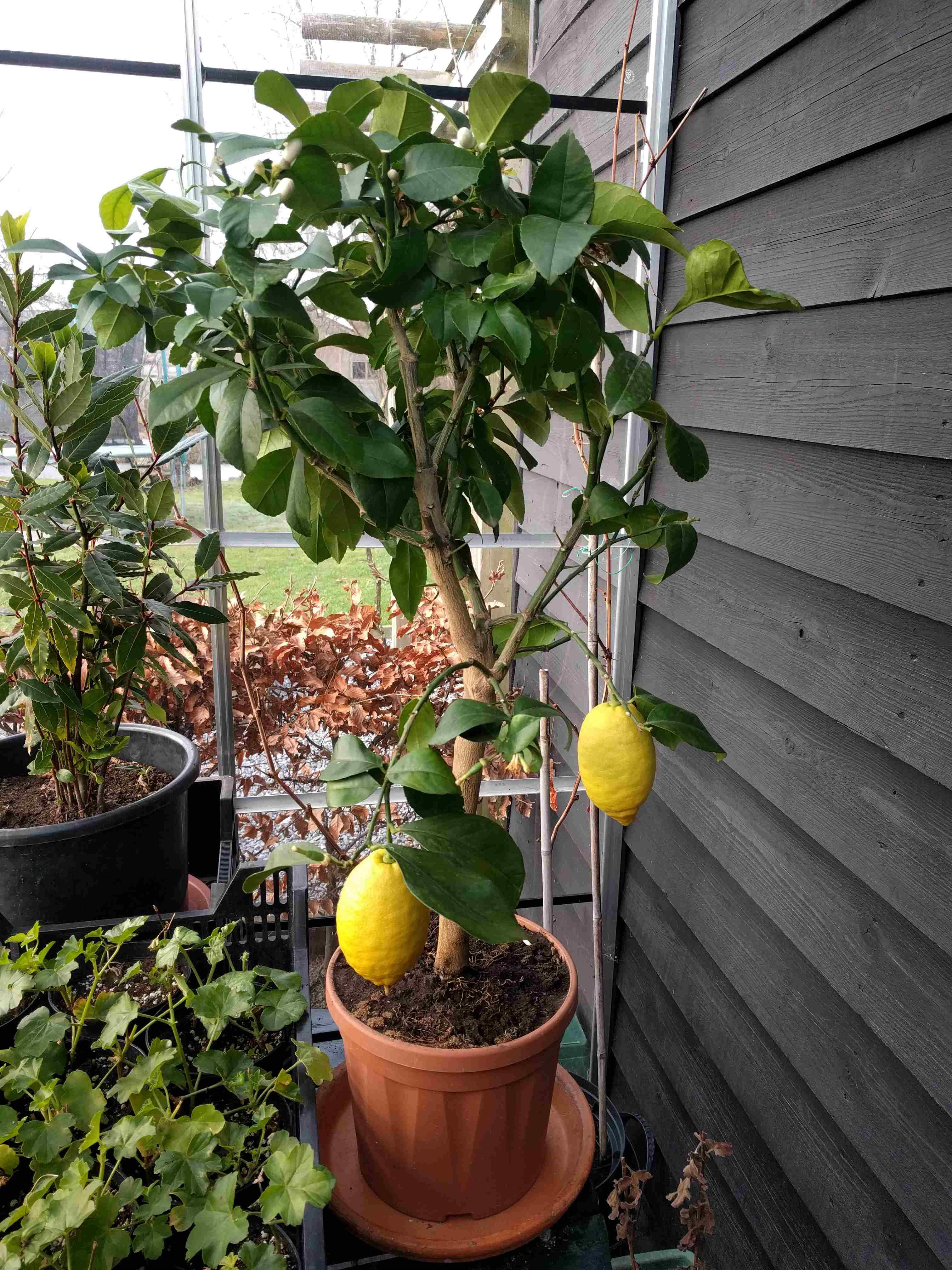 Boom In Pot Tuin.Citroenboom Exoot In Mijn Hollandse Tuin Over Al Het Moois In Je