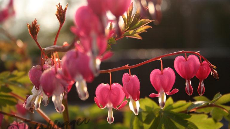 Valentijn: Mijn gebroken hart(je) in de tuin …
