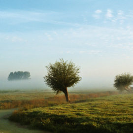 Katjeswilg en knotwilg in polder