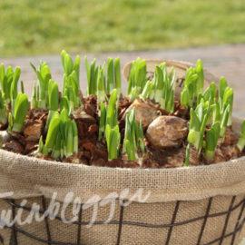 mand-voorjaarsbollen-herplanten