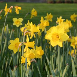 narcissen-geel-tuinblog
