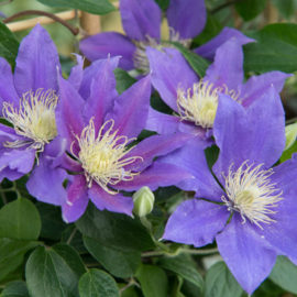 clematis-paars-tuinblog