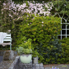 Clematis-klimt-muur-tuinblog