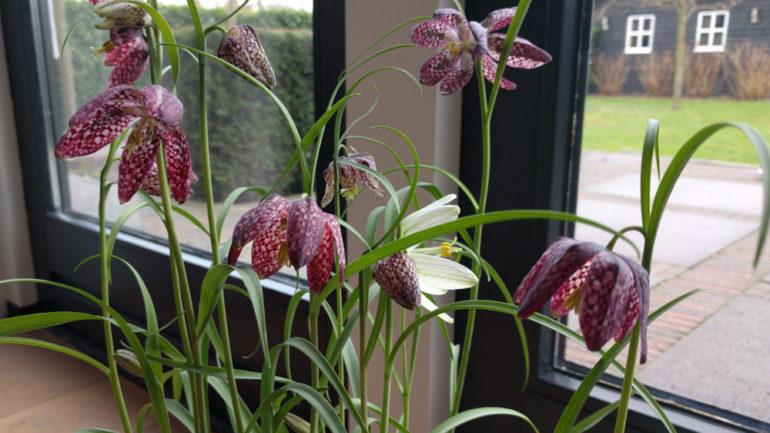 Kievitsbloemen: mooi op je vensterbank