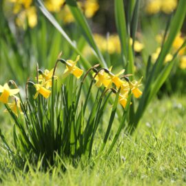 mini-narcissen-in-gras-tuinblogger