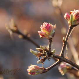 viburnum-bodnantense-tuinblog