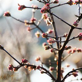 viburnum-bodnantense-roze-tuinblog