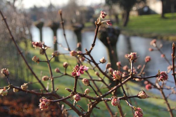 Viburnum bodnantense 'Dawn': mijn roze wolk is onderweg!