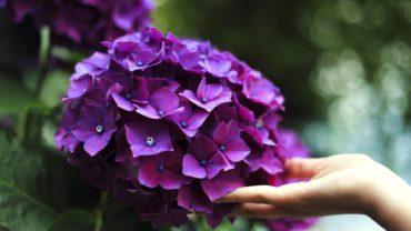 Hortensia's – elk seizoen mooi