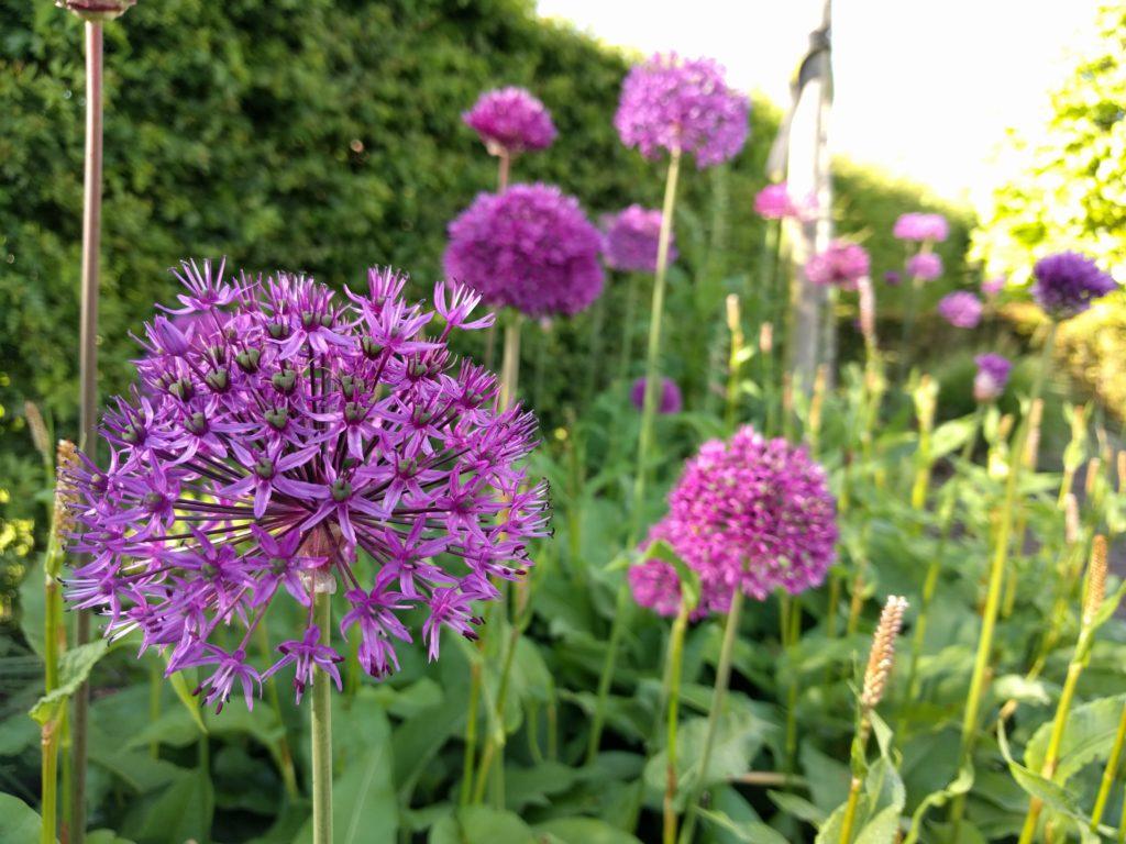 sierui-tuinblogger-paars