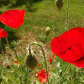 Gras-niet-maaien-tuinblogger-klaproos)