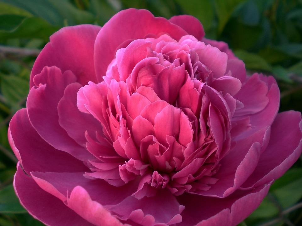 paarse-pioenroos-peony-tuinblog-tuin-roos