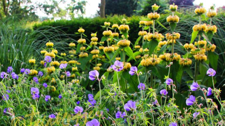 10 redenen waarom Phlomis in je tuin past!