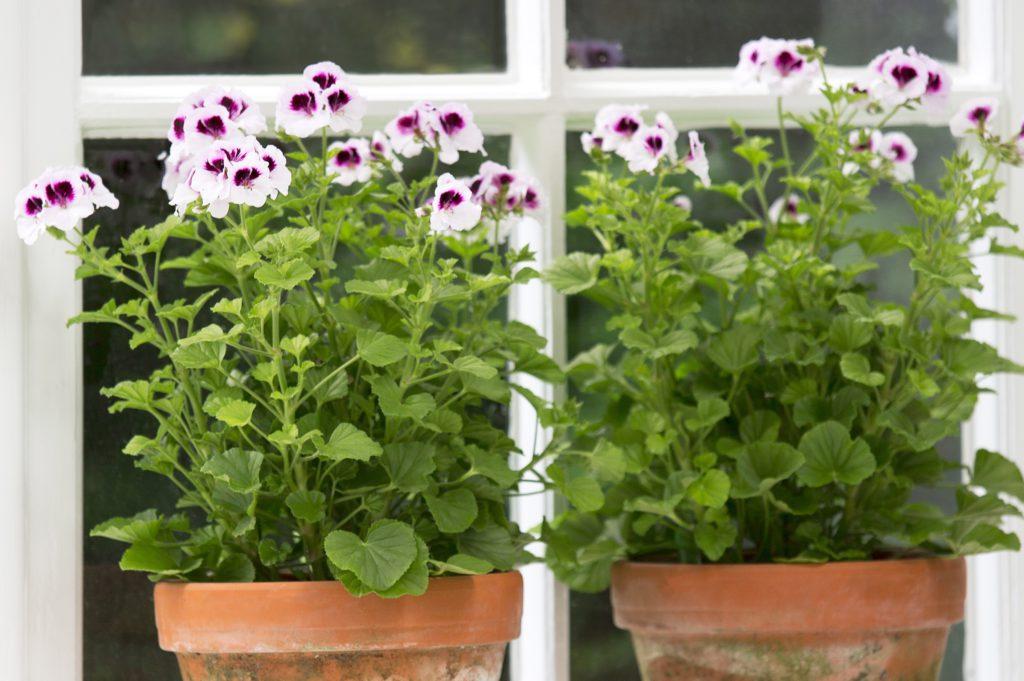 pelargonium-geranium-tuinblogger