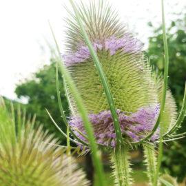 Paars-ring-bloem-kaardebol-tuin-tuinblogger