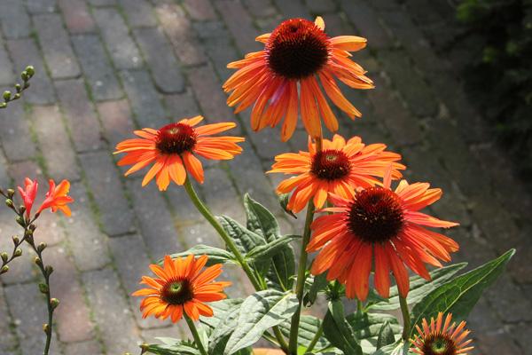 echinea-bij-tuinblogger-oranje