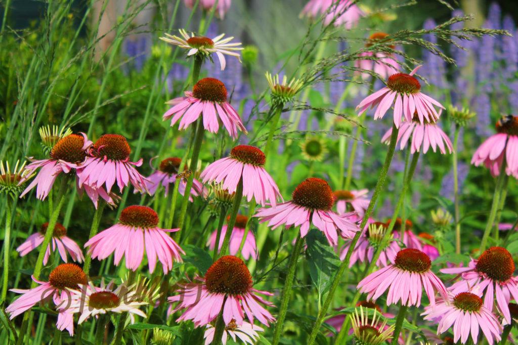 echinea-tuinblogger-tuin-zomer-tuinblog-tuin