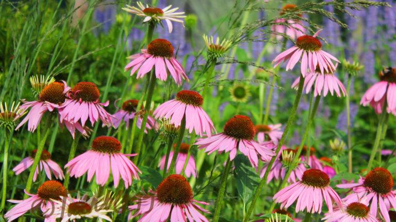 Echinacea: de zomerse zonnehoed