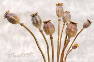 Droogbloem-papaver-somniferum-zaaddozen-tuin-tuinblog-bloementuin