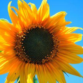 zonnebloem-tuin-tuinblogger-tips-tuinieren