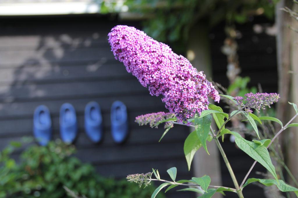Vlinderstruik-paars-klompen-blauw