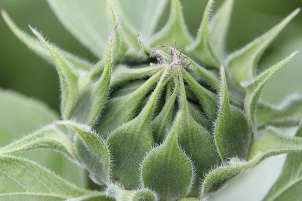 zonnebloemen-knop