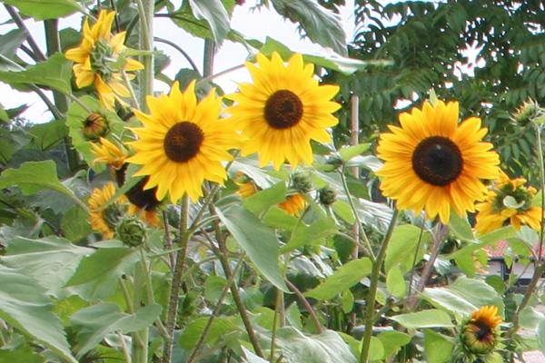 zonnebloem-moestuin-tuinblogger