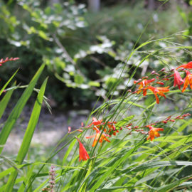 Crocosmia-wuift-wind