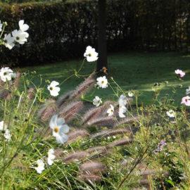 Lampepoetsersgras-pennisetum-cosmea