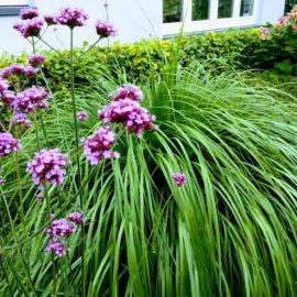 Groen-Lampepoetsersgras-pennisetum-ijzerhard