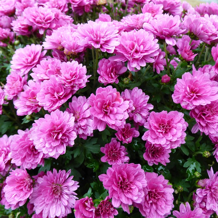 chrysanthemum-roze
