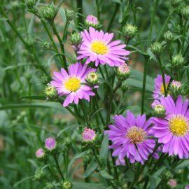 chrysant-bloem-paars-geel-hart
